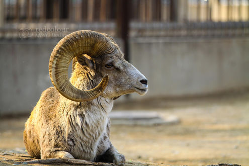 Обои Горный козел лежит на земле, фотограф Liu MingYang