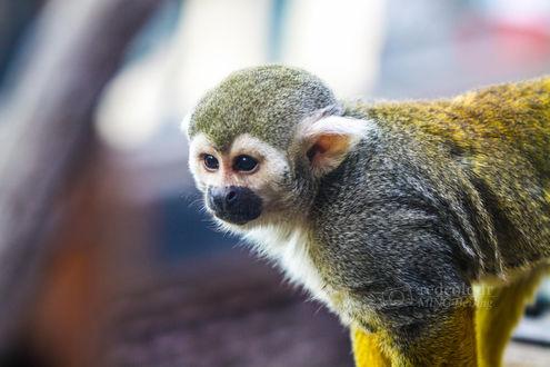 Обои Маленькая обезьяна, фотограф Liu MingYang