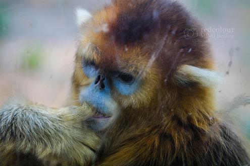 Обои Грустная обезьянка, фотограф Liu MingYang