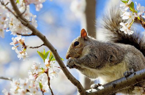 Обои Серая белка сидит на ветке цветущего дерева
