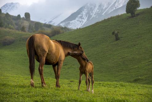 Обои Лошадь и жеребенок на лугу, фотограф Григорий Беденко