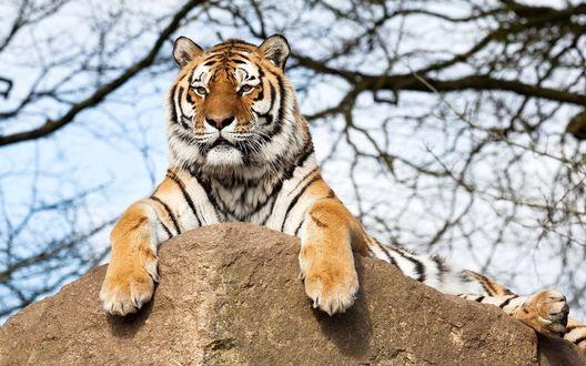 Обои Тигр вальяжно развалился на камне, на фоне неба и дерева с облетевшими листьями