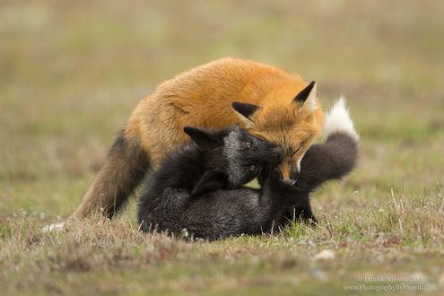 Обои Играющие лисы, фотограф Henrik Nilsson