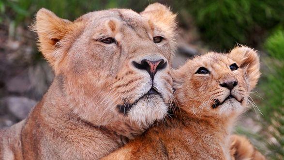 Обои Львица со львенком на фоне природы крупным планом