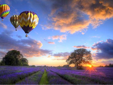 Обои Разноцветные воздушные шары в закатном небе, над лавандовым полем и деревьями