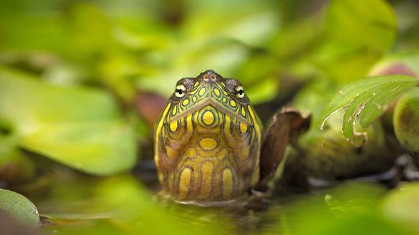 Обои Мордашка красноухой черепашки в воде на фоне листьев