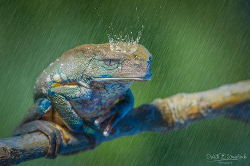 Обои Лягушка с короной из воды под дождем, фотограф Devid Camerlynck