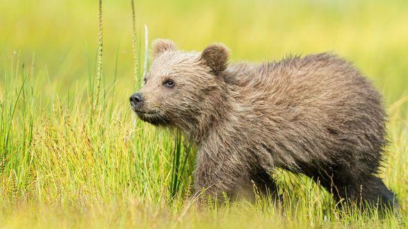 Обои Медвежонок гуляет по траве