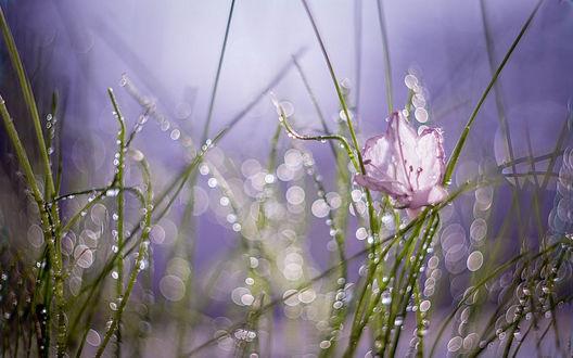 Обои Маленький лиловый цветок в высокой траве в каплях росы, освещенный солнцем