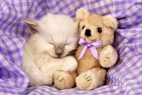 Обои Котенок спит, прижавшись к игрушечному медведю (fine art america)