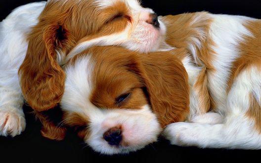 Обои Два щенка породы Кавалер кинг чарльз спаниель лежат, тесно прижавшись друг к другу