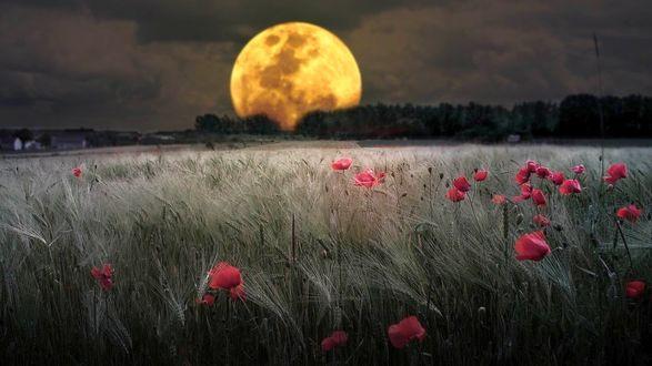 Обои Ночь, маковое поле, озаряемое светом желтоватой огромной Луны, нависающей над темной громадой леса на горизонте