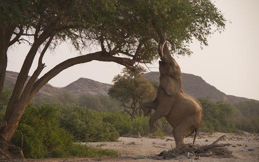 Обои Слон приподнявшись на задних лапах, пытается добраться до нежных листиков на дереве