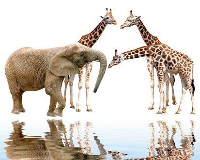 Обои Слон и жирафы на водопое