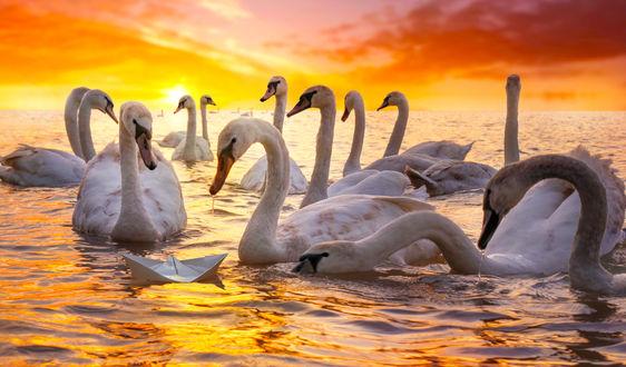 Обои Белые лебеди на воде и бумажный кораблик, фотограф Adrian Borda