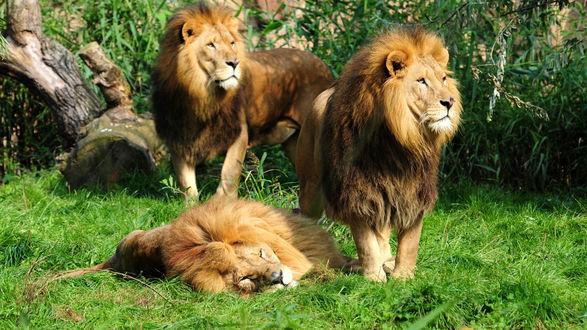 Обои Львы на природе
