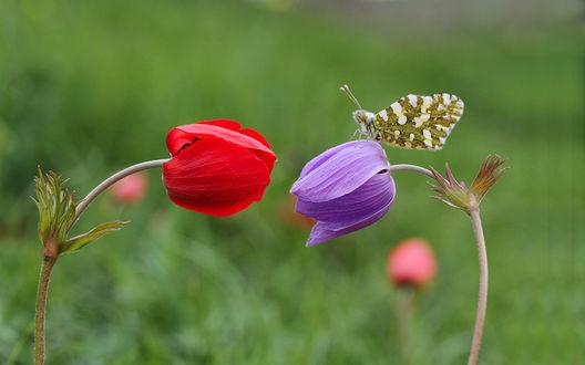 Обои Два цветка анемоны, синий и красный, на синем сидит бабочка, be Mehmet