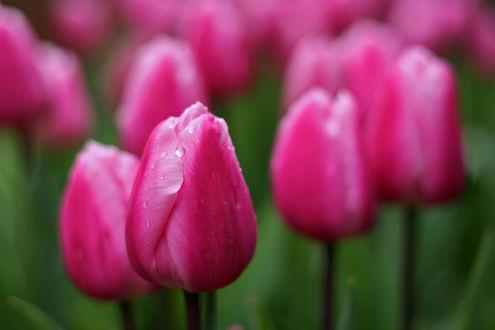 Обои Розовые весенние тюльпаны