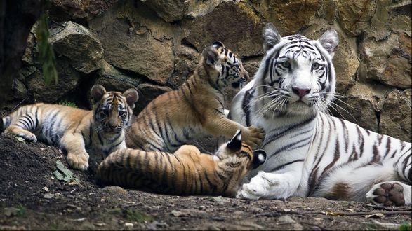 Обои Тигриное семейство лежит в вольере в зоопарке