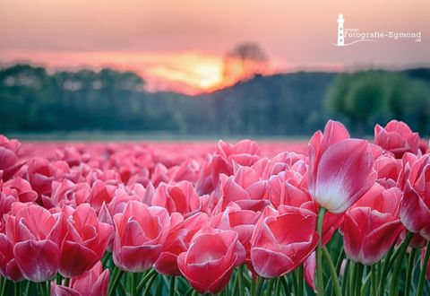 Обои Поле розовых тюльпанов, by Fotografie-Egmond