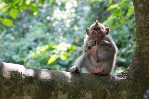 Обои Смешная обезьяна сидит на дереве, by Tobias Goebel