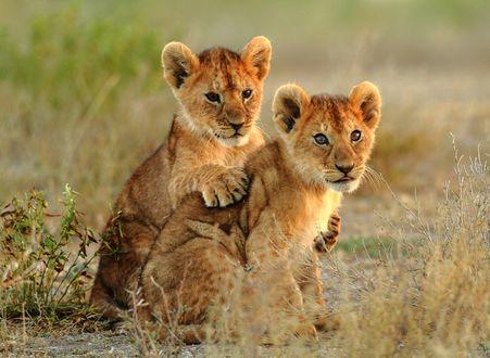 Обои Два львенка сидят на земле
