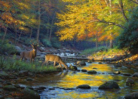 Обои Два оленя на берегу небольшой лесной реки на дне, которой большие камни, один из оленей пьет воду, по берегам реки осенний лес