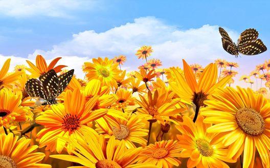Обои Желтые ромашки над которыми летают бабочки на фоне неба