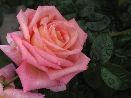 Обои Розовая роза в каплях росы, by yopparainokobito