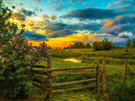 Обои Закат над сельской околицей, цветущая сирень и пасущиеся вдалеке лошади