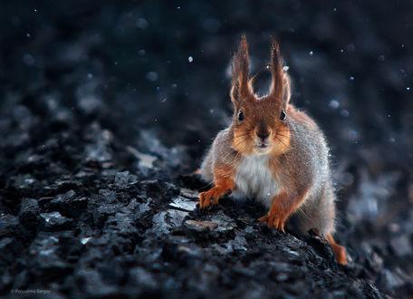 Обои Белка на земле, фотограф Полюшко Сергей