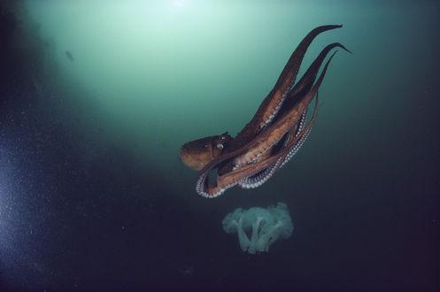 Обои Осьминог, плывущий в глубинах океана