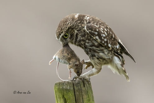 Обои Сова держит мышь, стоя на пне, фотограф Arno van Zon