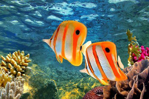 Обои Красивые золотые рыбки в черную полоску под водой