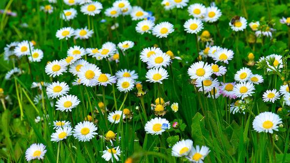 Обои Белые ромашки в зеленой траве