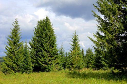 Обои Еловый лес в России на Алтае