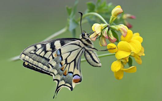 Обои Бабочка Махаон сидит на желтом цветке