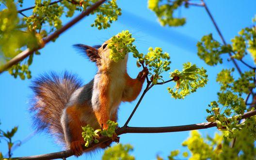 Обои Белка сидит на ветке дерева и нюхает цветы