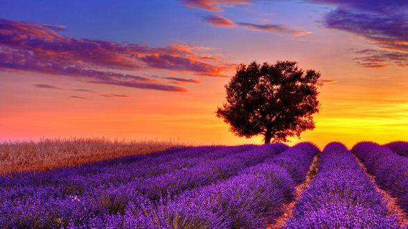 Обои Одинокое дерево на лавандовом поле на рассвете
