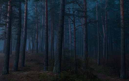 Обои Лес свысокими соснами в синих сумерках, by Kljuchenkow Aleksandr