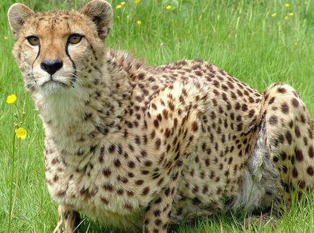 Обои Гепард сидит в траве и пристально смотрит куда-то
