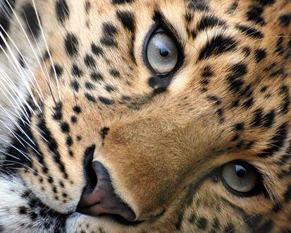 Обои Морда ягуара крупным планом