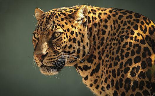 Обои Красивый леопард на сером фоне