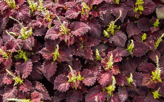 Обои Растение с красными листьями и зелеными верхушками