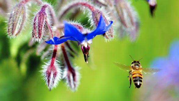 Обои Пчела подлетает к синему цветку