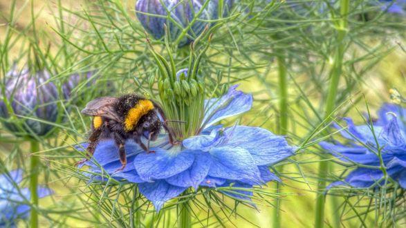 Обои Шмель пьет нектар из голубого цветка