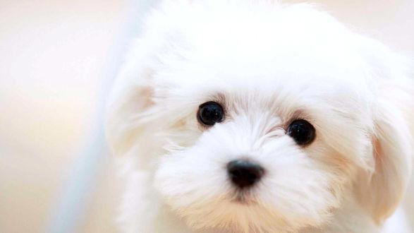 Обои Мордашка щенка на белом фоне