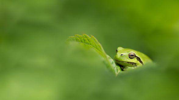 Обои Зеленая древесная лягушка сидит на листе
