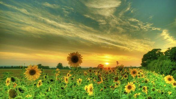 Обои Поле подсолнухов на фоне неба и красивого заката