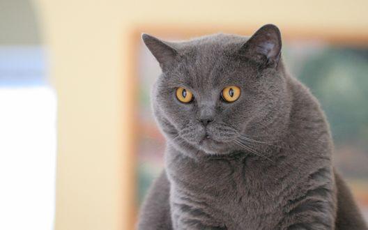 Обои Британский серый кот с желтыми глазами